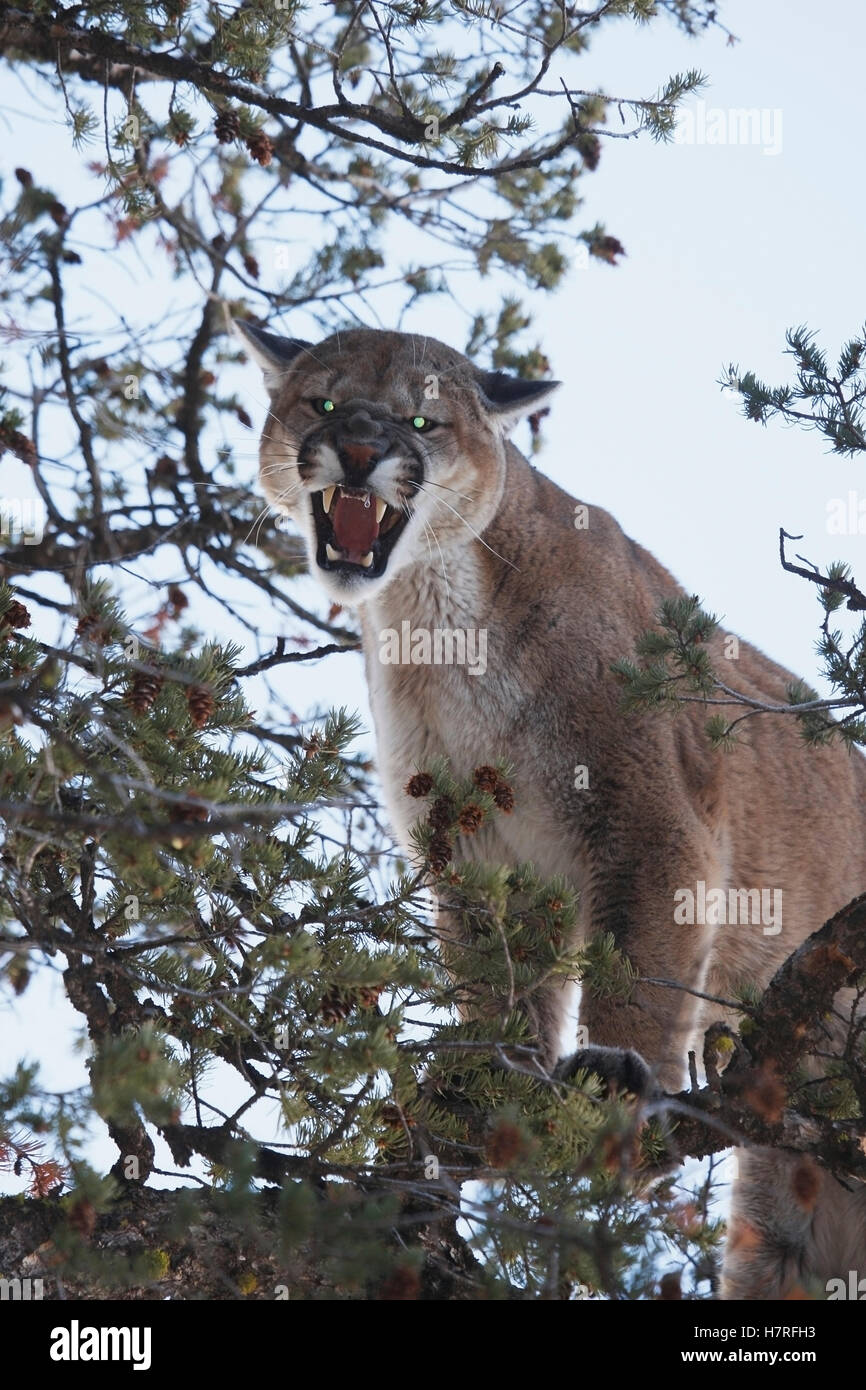 Mountain Lion Cougar In Tree Branches - Stock Image