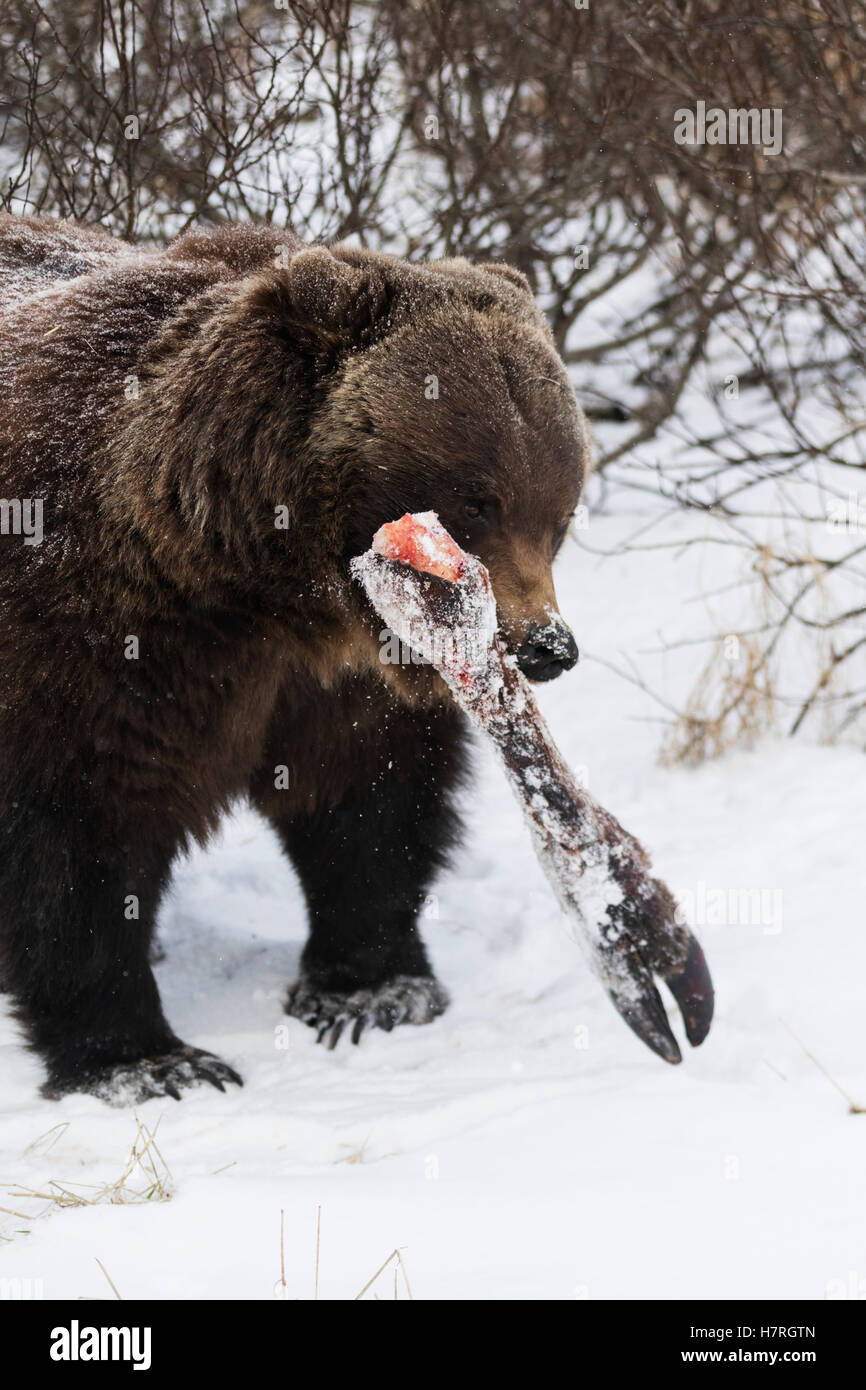CAPTIVE: Grizzly carries a moose leg bone away from the other bears to eat in peace, Alaska Wildlife Conservation - Stock Image