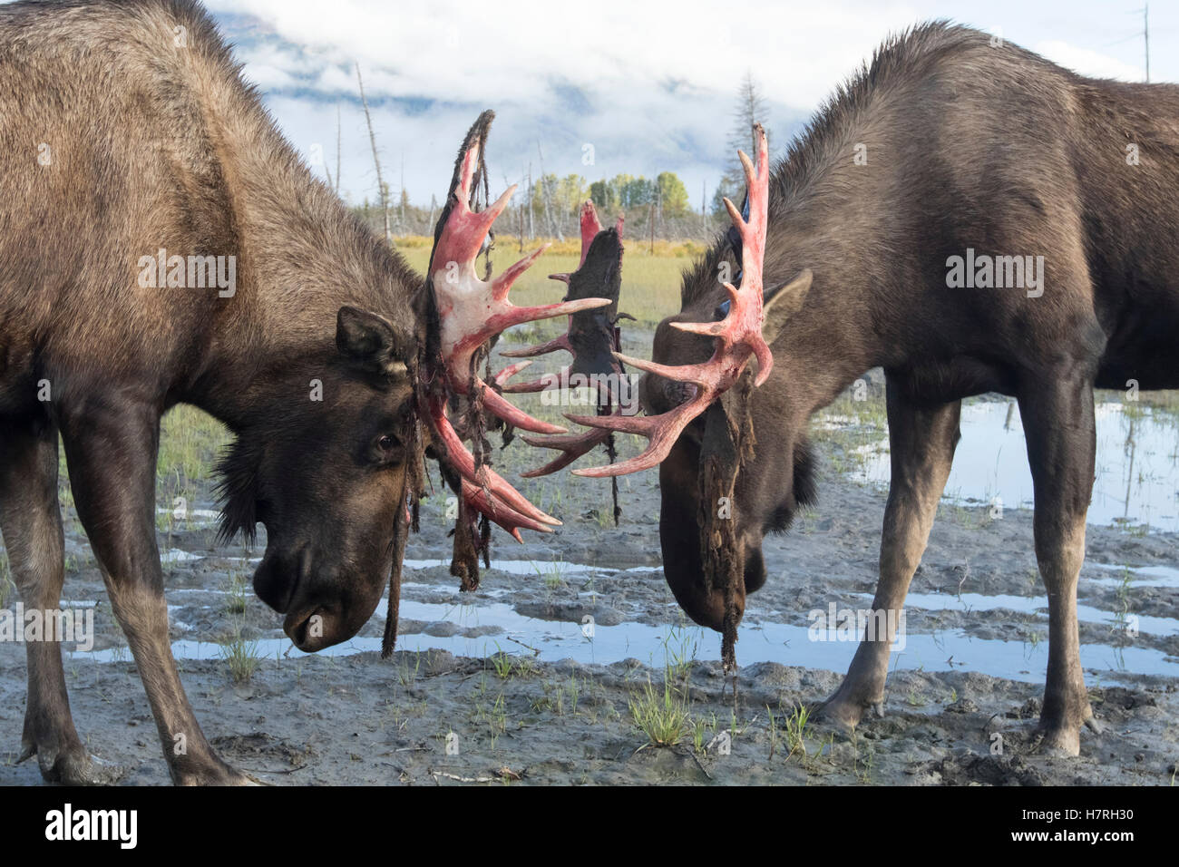 Bull moose (alces alces) just coming out of shedding its velvet and antlers look a little red,  Alaska Wildlife - Stock Image