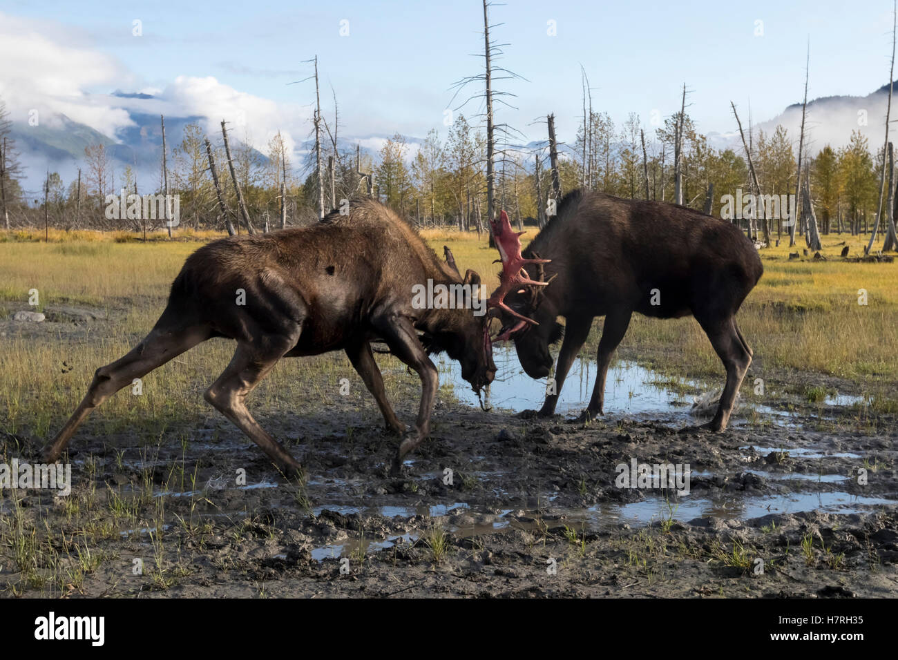 Bull moose (alces alces) just coming out of shedding its velvet and antlers look a little red, captive at Alaska - Stock Image