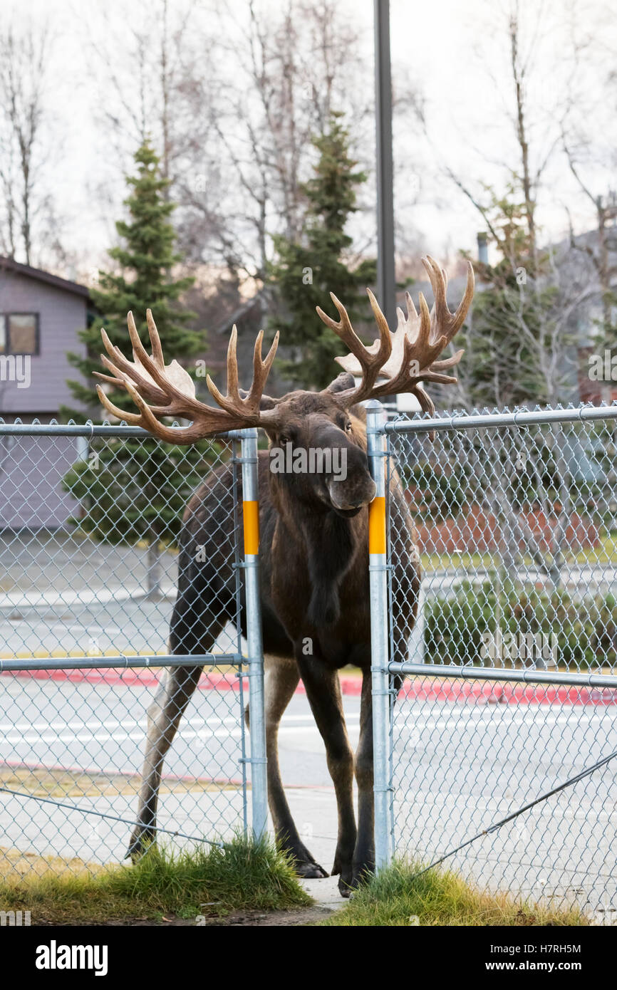 A large bull moose (alces alces) squeezes through a fence opening at the Lake Hood Elementary School yard while - Stock Image
