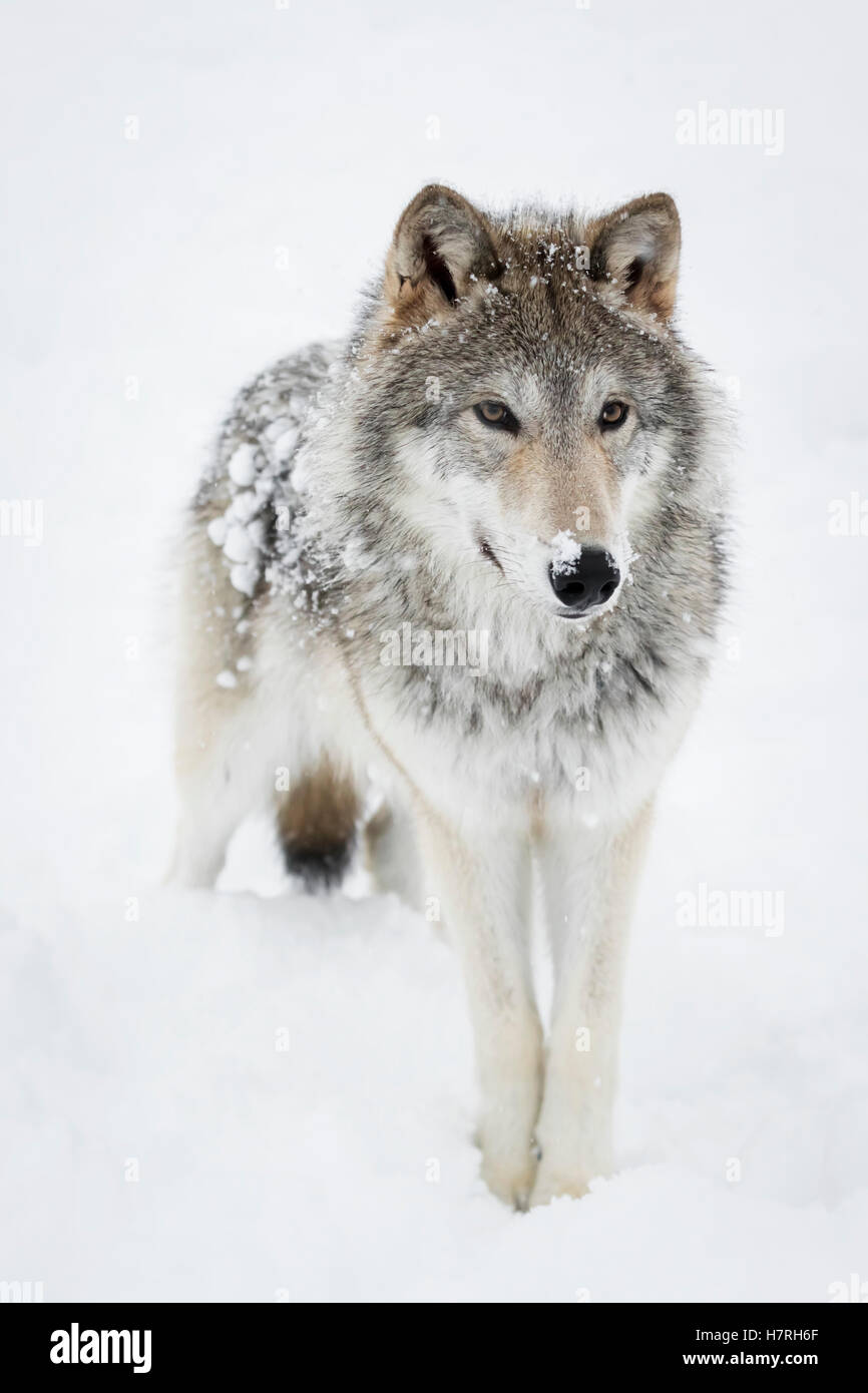 Female tundra wolf (Canis lupus albus) plays and walks around snow, captive at the Alaska Wildlife Conservation - Stock Image