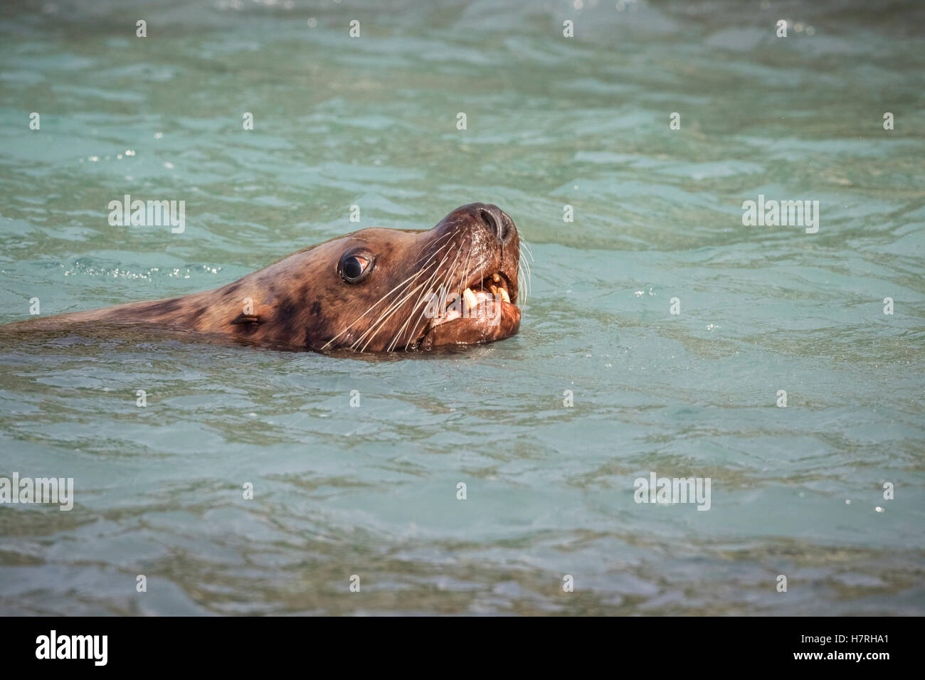 Stellar Sea Lion in the waters near the fish hatchery, Valdez, Southcentral Alaska, summer, USA - Stock Image