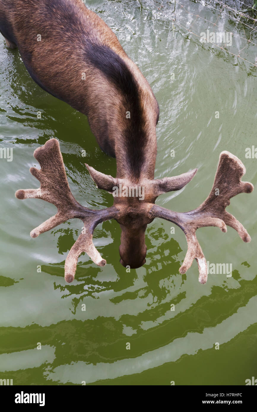 Captive Bull moose (alces alces) in pond with view of velvet covered antlers shown from above at the Alaska Wildlife - Stock Image