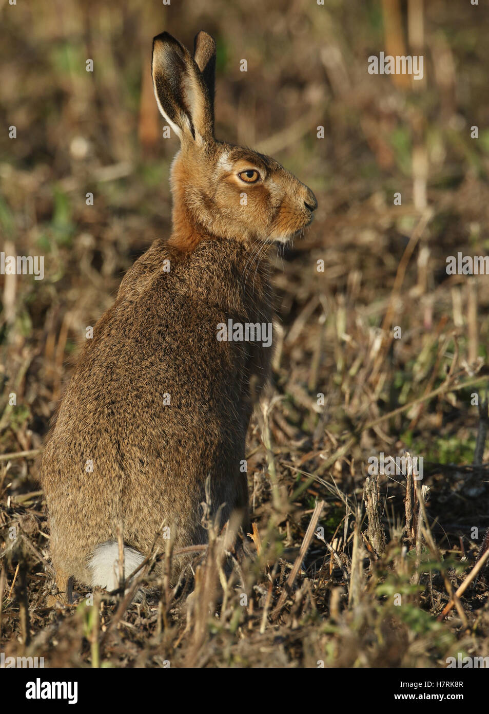 A Brown Hare (Lepus europaeus) standing in a field. - Stock Image