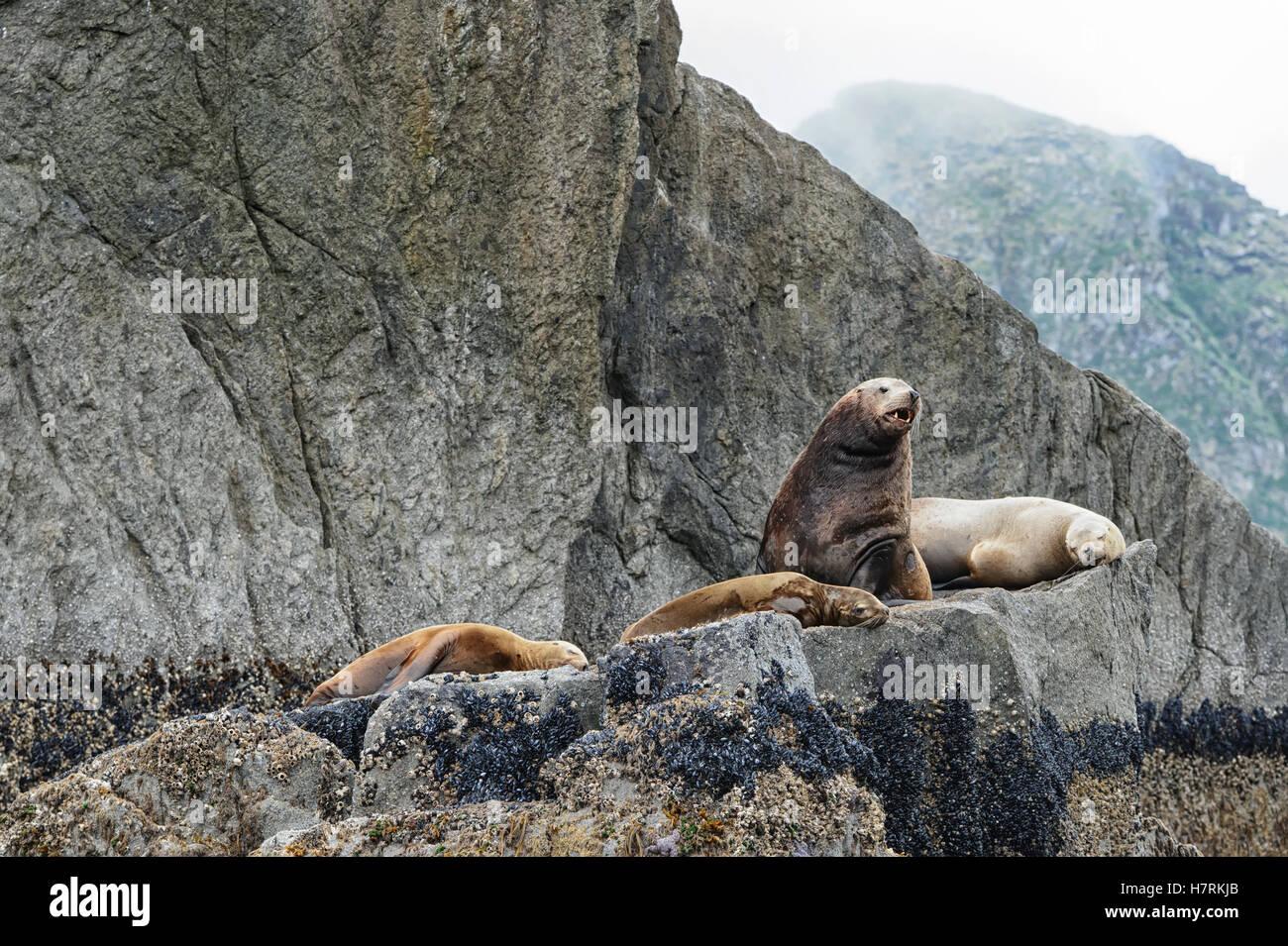 Stellar sea lion (Eumetopias jubatus); Seward, Alaska, United States of America - Stock Image