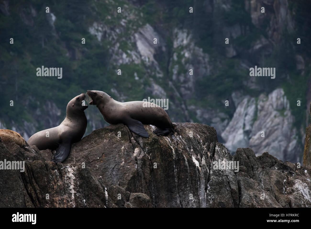 Stellar sea lions (Eumetopias jubatus) on the rocks in the harbour; Seward, Alaska, United States of America - Stock Image