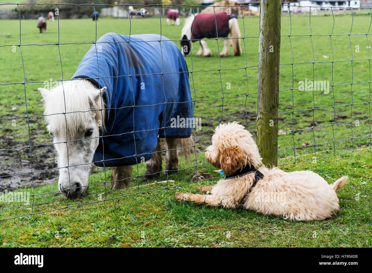 A cockapoo sits on the grass on the other side of a fence watching a Shetland Pony (Equus ferus caballus); South Stock Photo