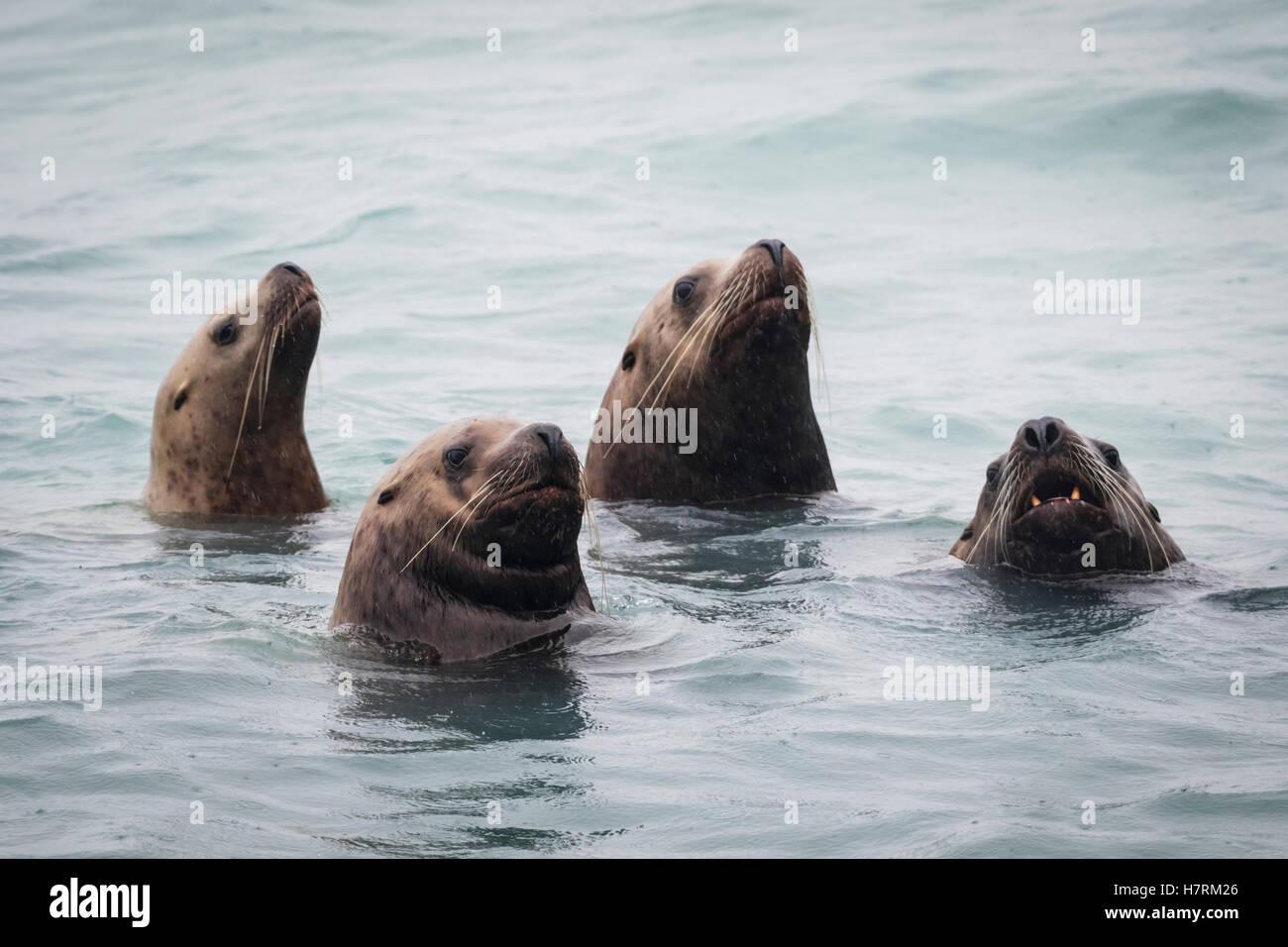 Stellar Sea lions (Eumetopias jubatus) swimming, South-central Alaska; Alaska, United States of America - Stock Image