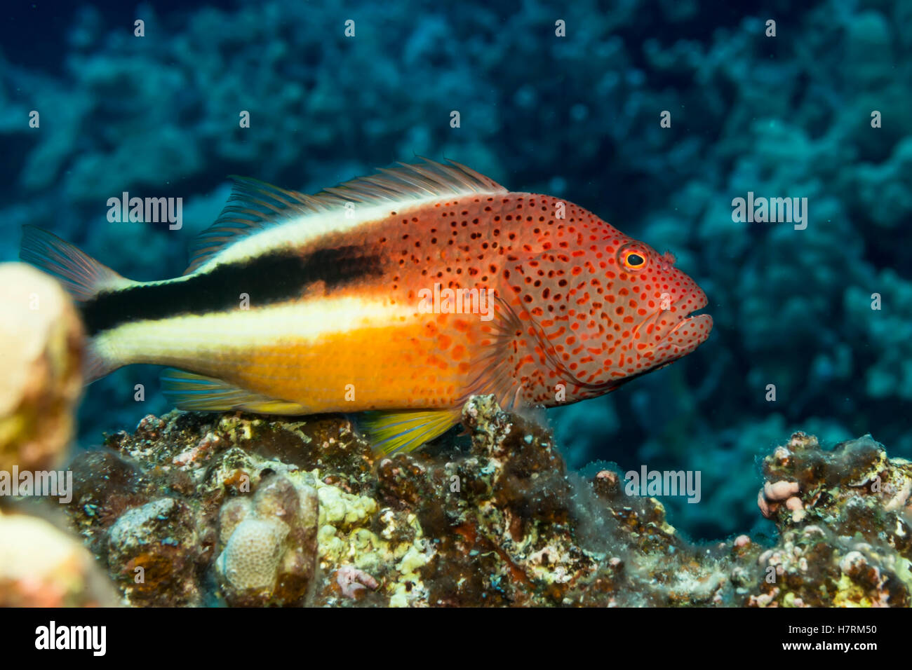 Freckled Hawkfish (Paracirrhites forsteri) resting on algae-covered dead coral was photographed while scuba diving - Stock Image