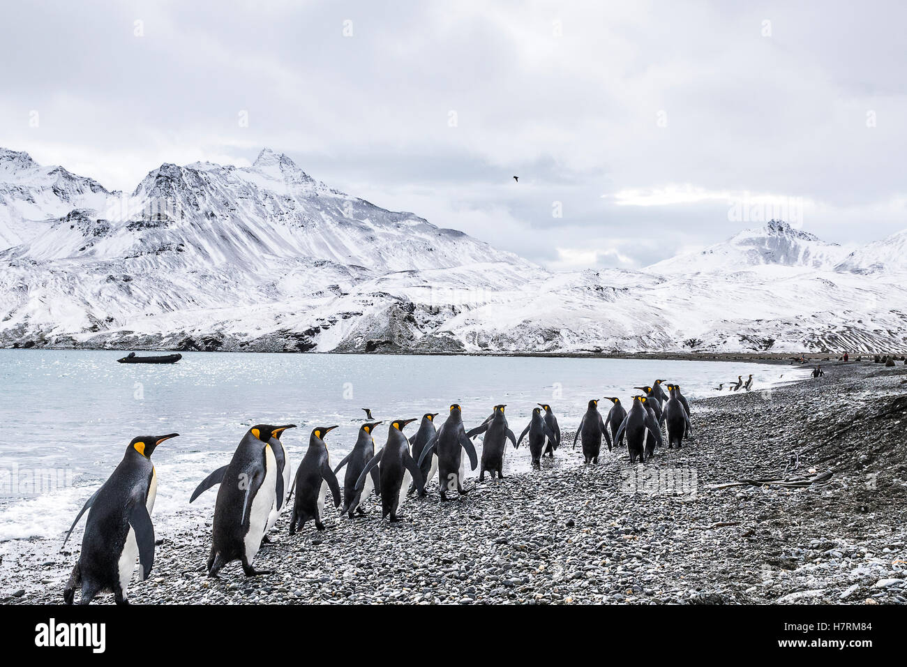 King penguins (Aptenodytes patagonicus) walking in a row along the water's edge and a zodiac moored in the water - Stock Image