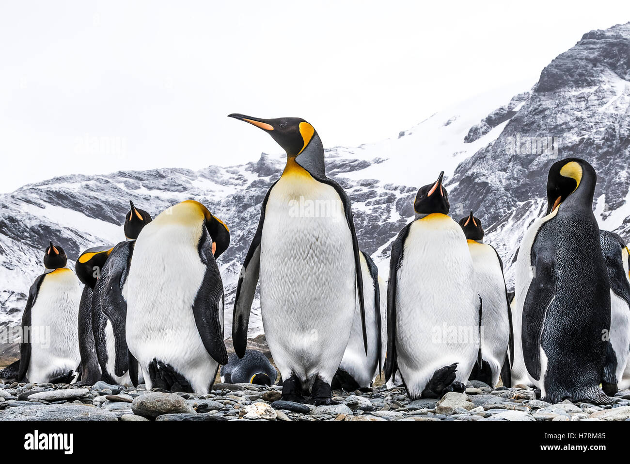 King penguins (Aptenodytes patagonicus) on a beach; South Georgia, South Georgia, South Georgia and the South Sandwich - Stock Image