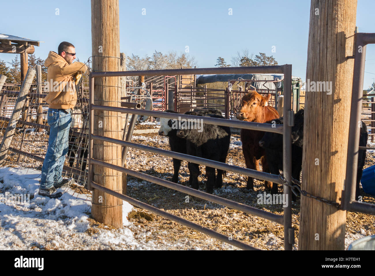 young man in his late 20s checking his cattle - Stock Image