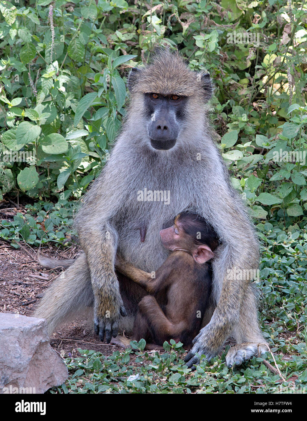 This image of a baboon nurturing its kid was taken during a Safari in the Amboseli National Reserve in Kenya. - Stock Image