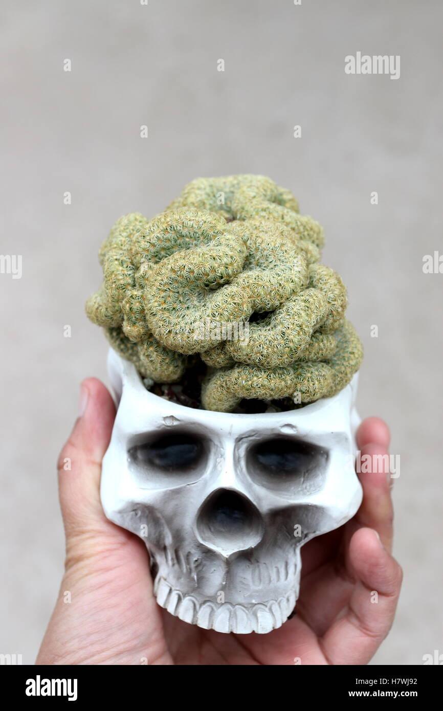 Close Up Of Mammillaria Elongata Cristata Or Known As Brain Cactus Stock Photo Alamy