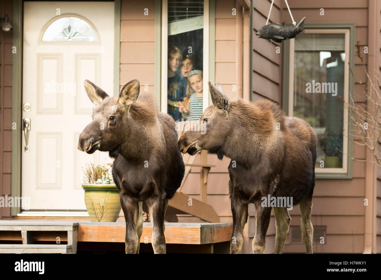 Children watch thru a window as a pair of moose calves wander by their home in West Anchorage, Southcentral Alaska, - Stock Image