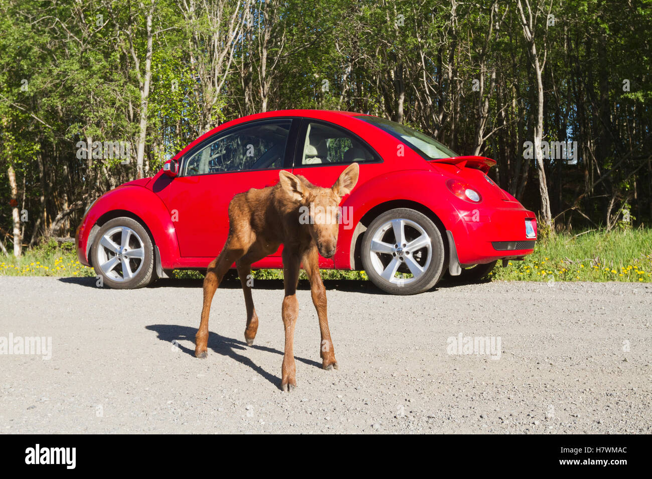 Moose And Car Stock Photos Amp Moose And Car Stock Images