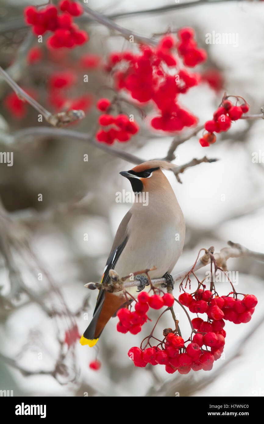 Bohemian waxwing in Mountain Ash tree, Anchorage, Southcentral Alaska. Winter. - Stock Image