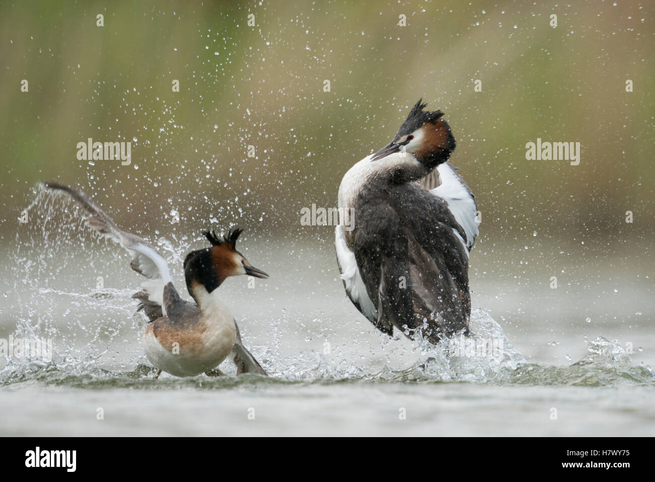 Great Crested Grebes ( Podiceps cristatus ), rivals, territorial behavior during mating season, in hard fight, fighting, - Stock Image