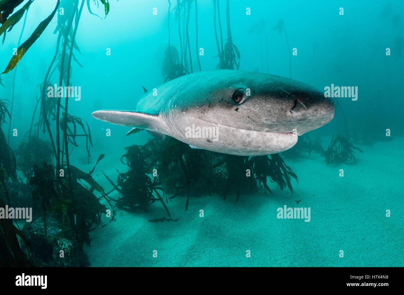 Broad nosed seven gill shark swimming through the kelp forests of False Bay, Simonstown, South Africa. - Stock Image