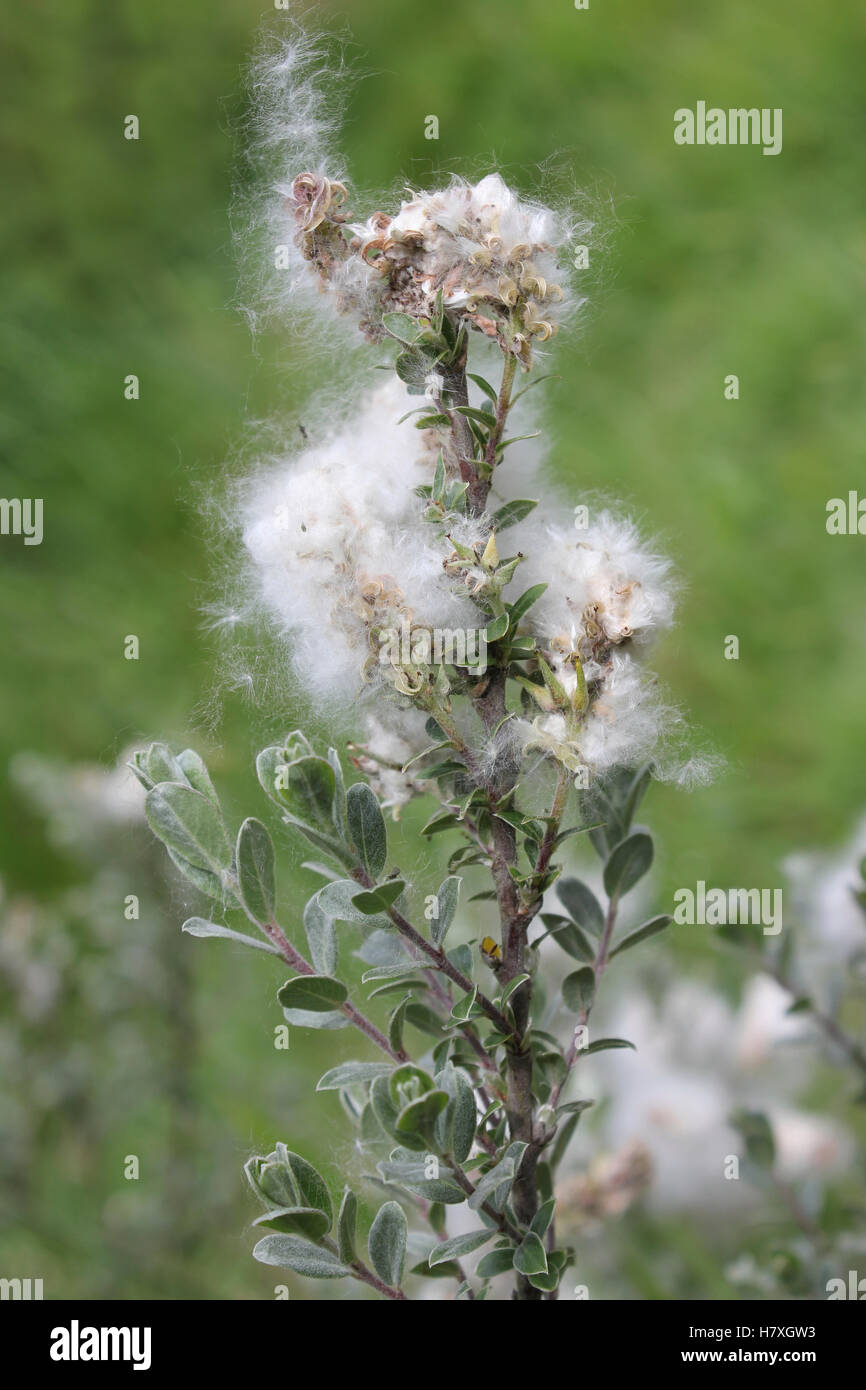 Creeping Willow Salix repens var. argentea With Downy Fluff Covering Seeds Stock Photo