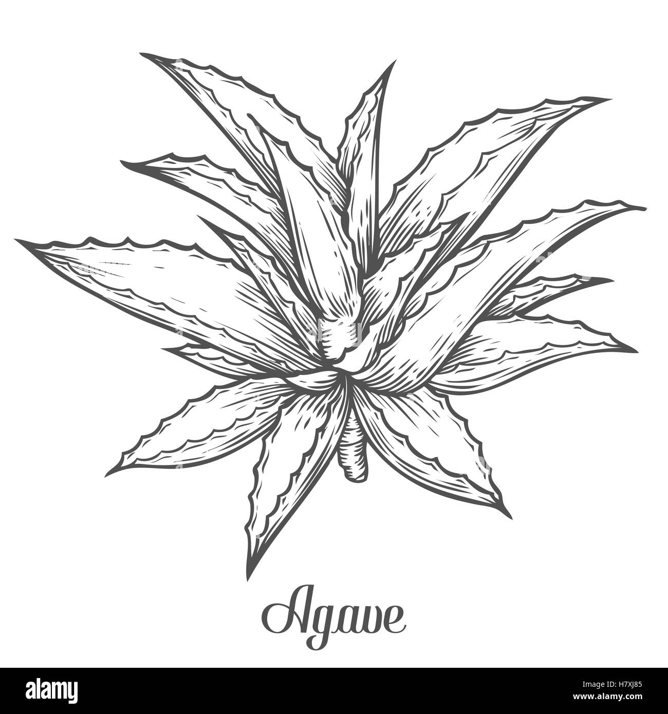 Cactus blue agave. plant vector hand drawn illustration on white background. Ingredient for traditional medicine, - Stock Image