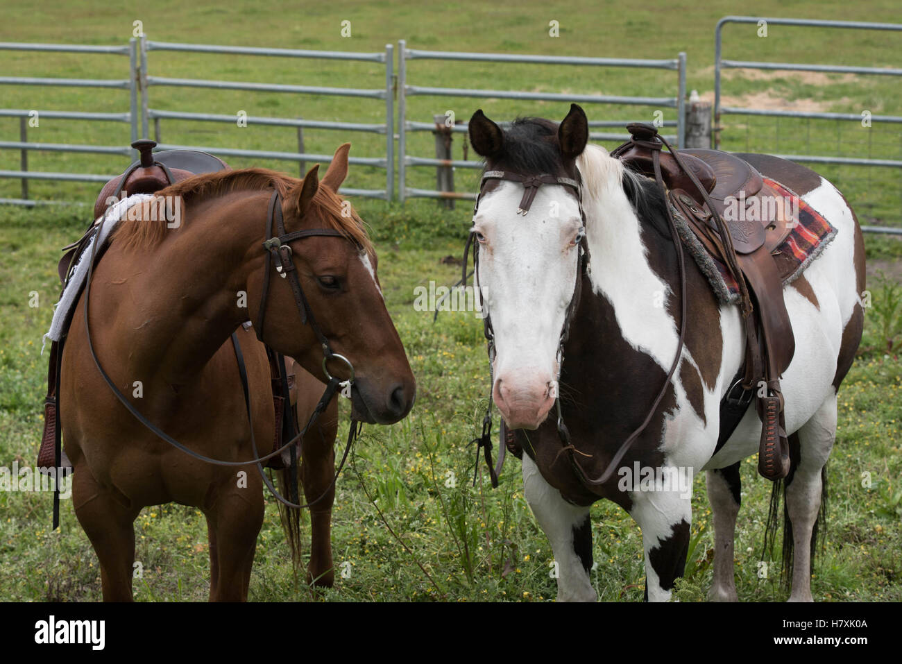 2 Horses Saddled In The Yards Ready For Work