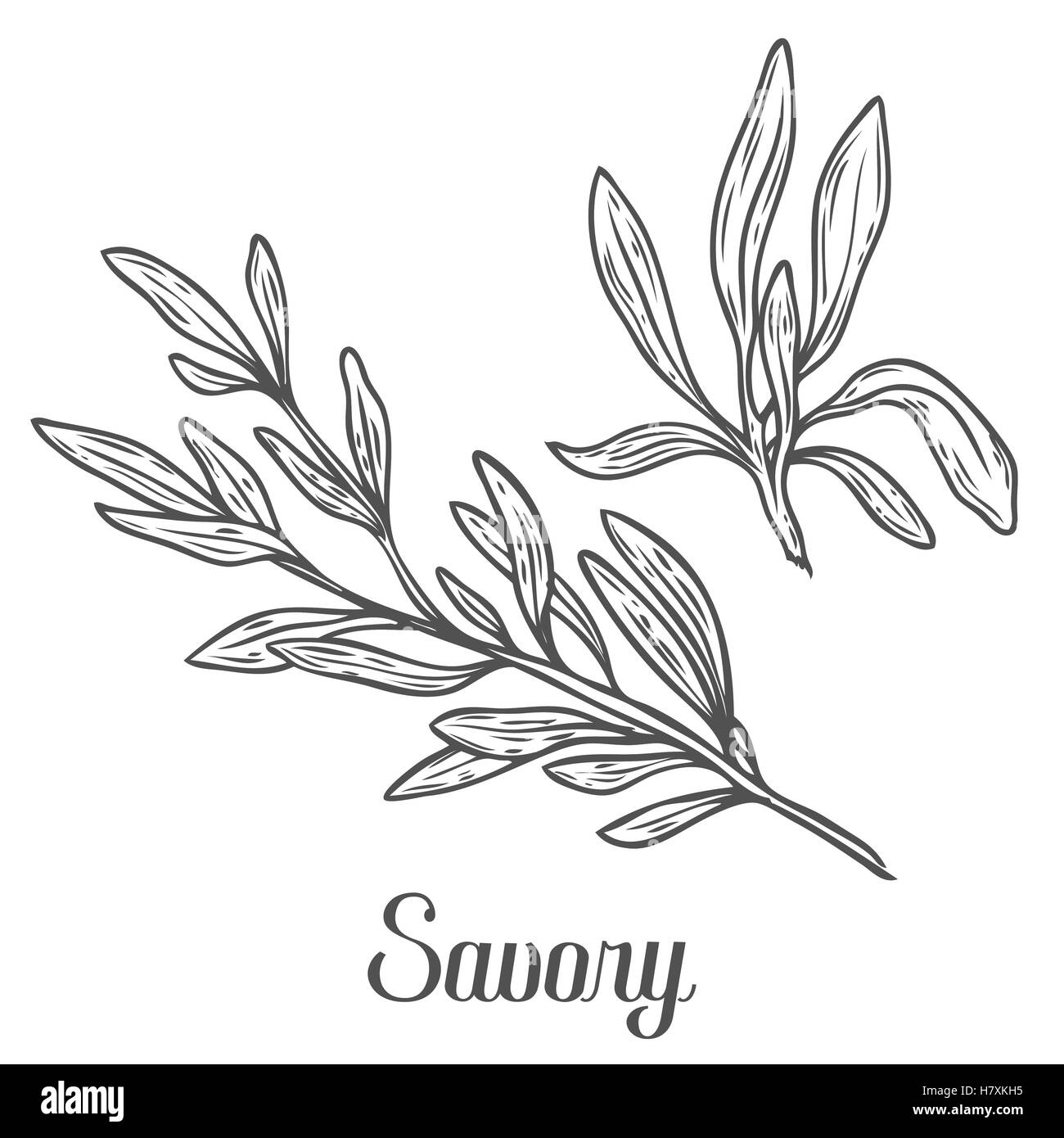 Savory vector hand drawn sketch vector illustration. Culinary herb spice for cooking, medical, gardening design. - Stock Vector
