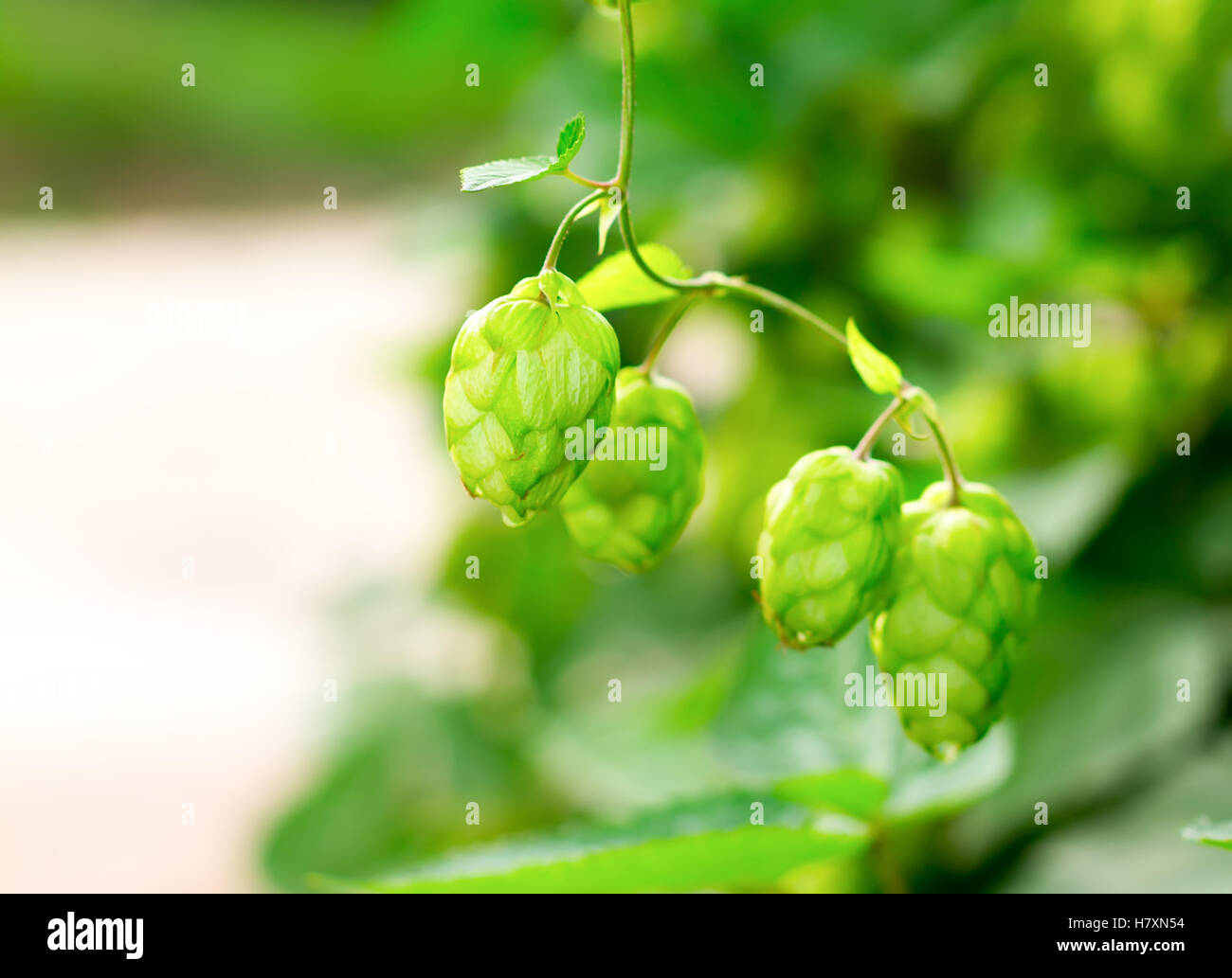 green climbing plant hops, selective focus. Ingredient for making yeast and beer - Stock Image