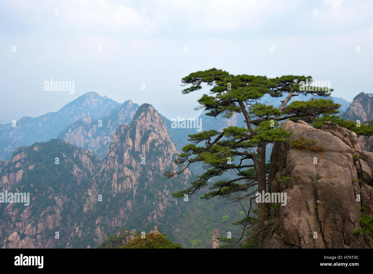 Lonely Pine Tree On Rocks Top On Misty Valley Background