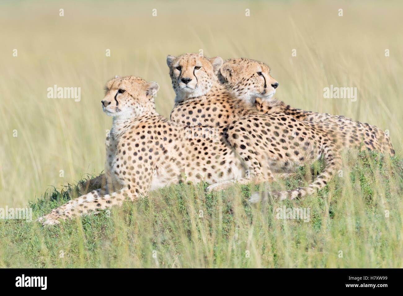 Three Cheetah (Acinonix jubatus) lying down on hill at savanna, Maasai Mara National Reserve, Kenya - Stock Image