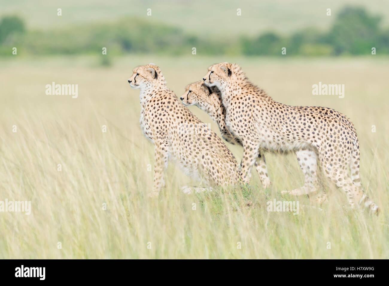 Three Cheetah (Acinonix jubatus) standing on the look out at savanna, Maasai Mara National Reserve, Kenya - Stock Image