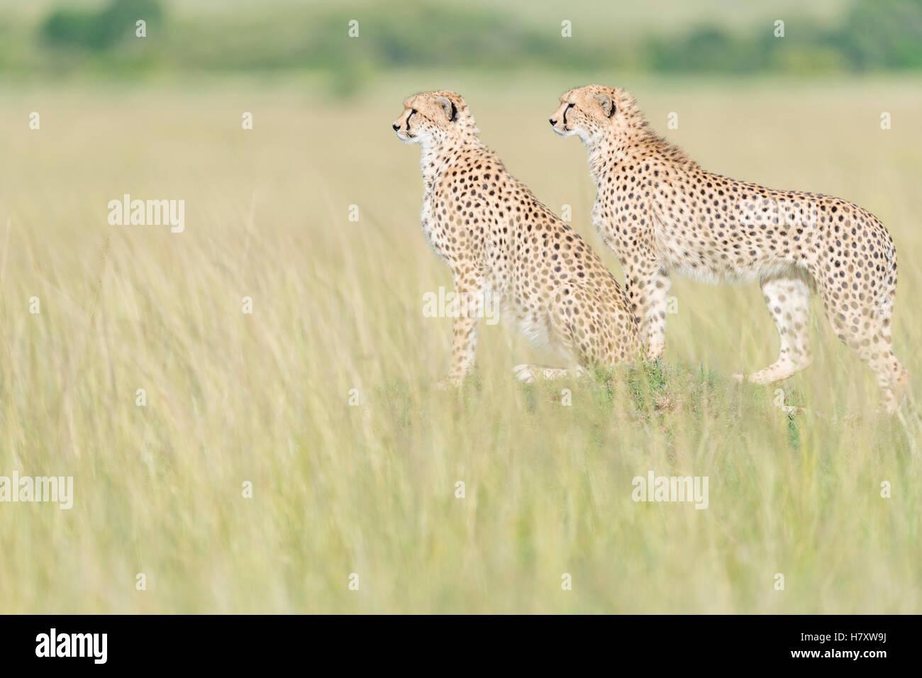 Two Cheetah (Acinonix jubatus) standing on the look out at savanna, Maasai Mara National Reserve, Kenya - Stock Image