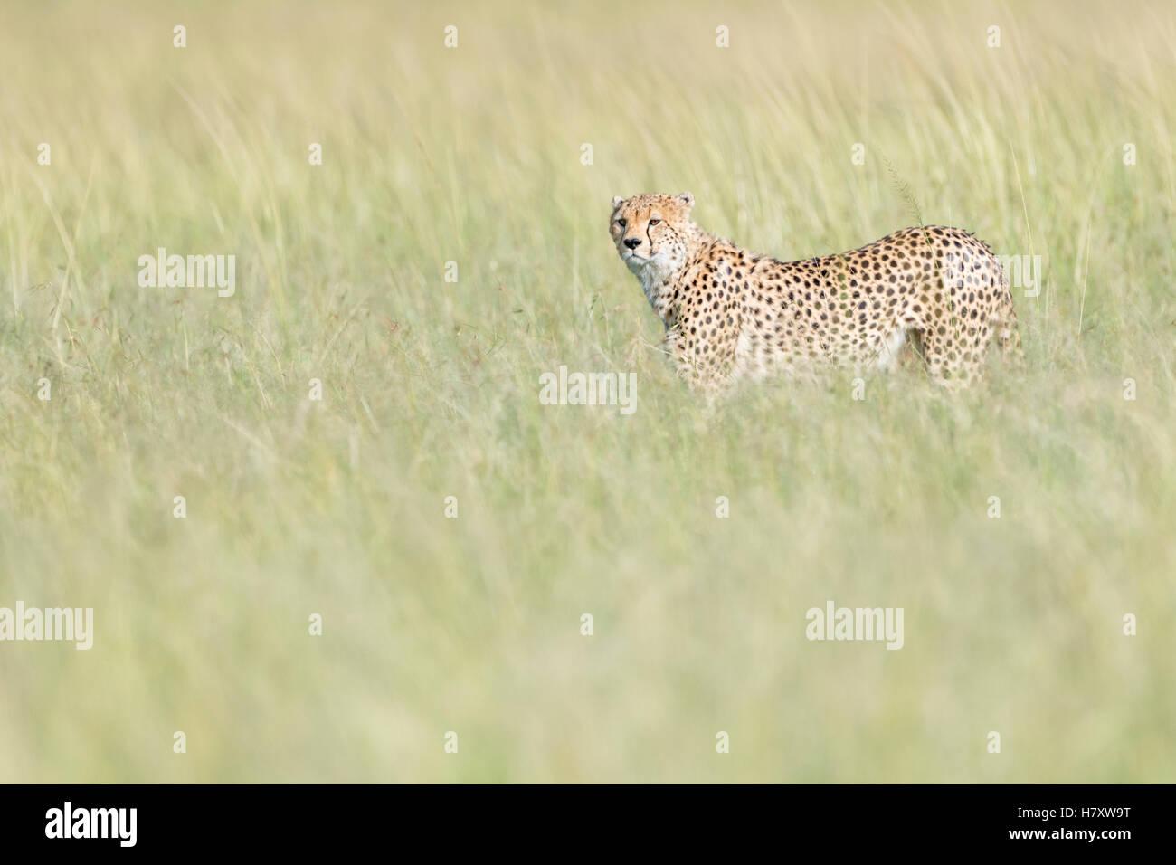 Cheetah (Acinonix jubatus) walking on savanna in high grass, Maasai Mara National Reserve, Kenya - Stock Image