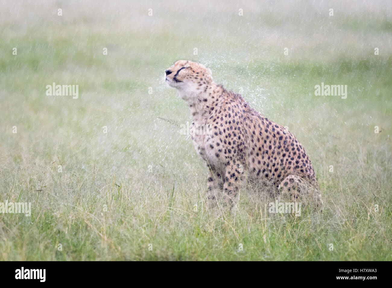 Cheetah (Acinonix jubatus) sitting on savanna during rainfall, shaking wet fur, Maasai Mara National Reserve, Kenya - Stock Image