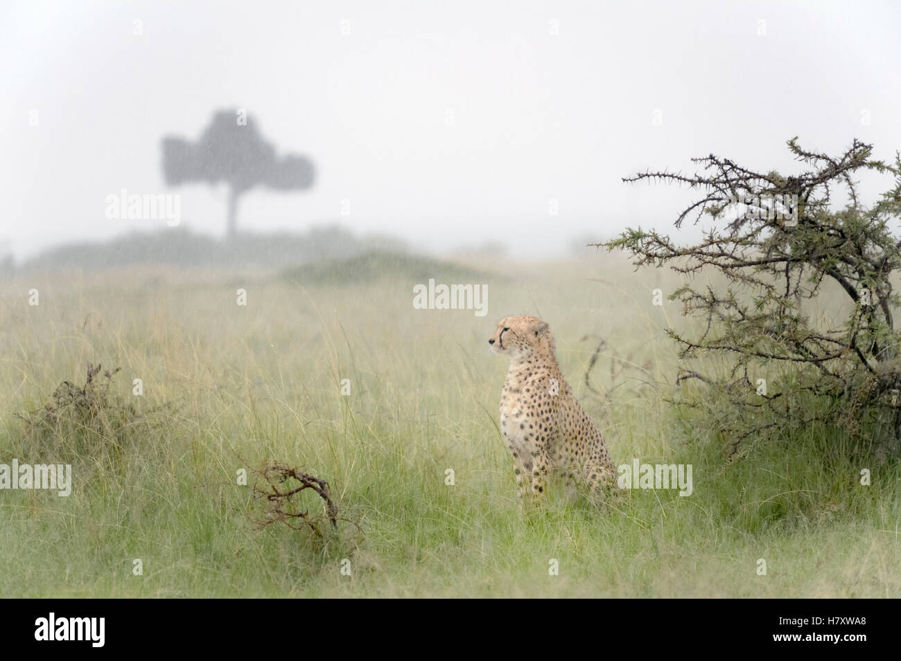 Cheetah (Acinonix jubatus) sitting on savanna during rainfall, Maasai Mara National Reserve, Kenya - Stock Image