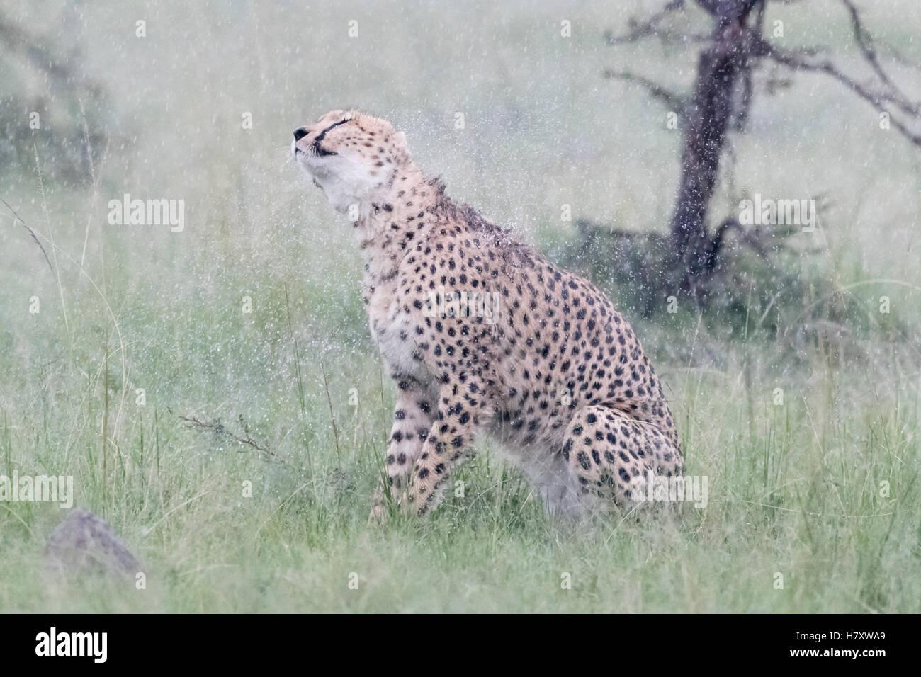 Cheetah (Acinonix jubatus) sitting on savanna during rainfall, shaking wet fur, Maasai Mara National Reserve, Kenya - Stock Image