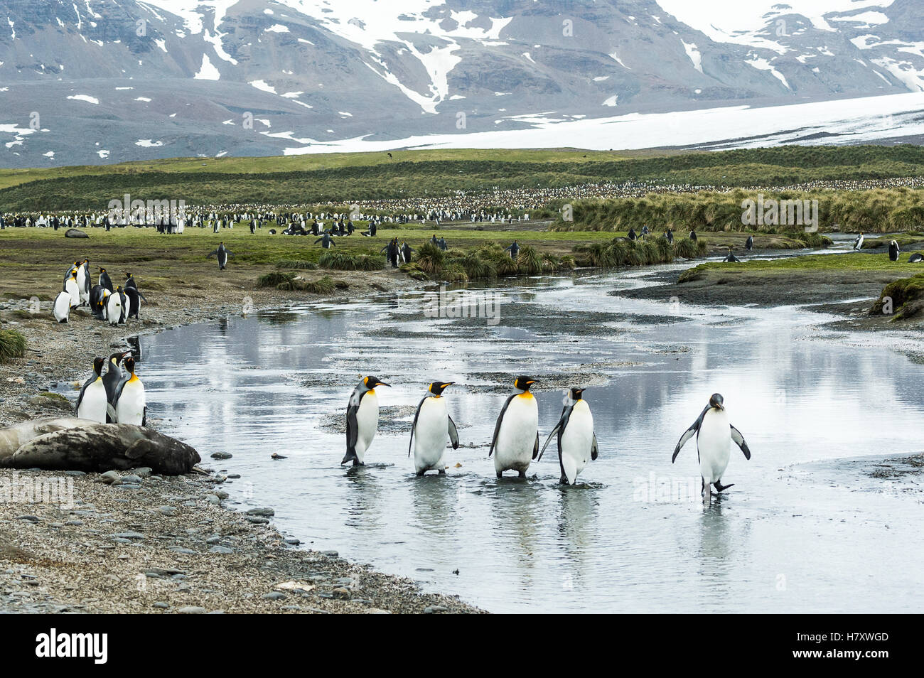 King penguins (Aptenodytes patagonicus) wading in shallow water; South Georgia, South Georgia and the South Sandwich - Stock Image