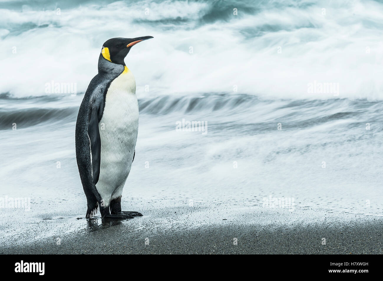 King penguin (Aptenodytes patagonicus) standing on the wet beach; South Georgia, South Georgia and the South Sandwich - Stock Image