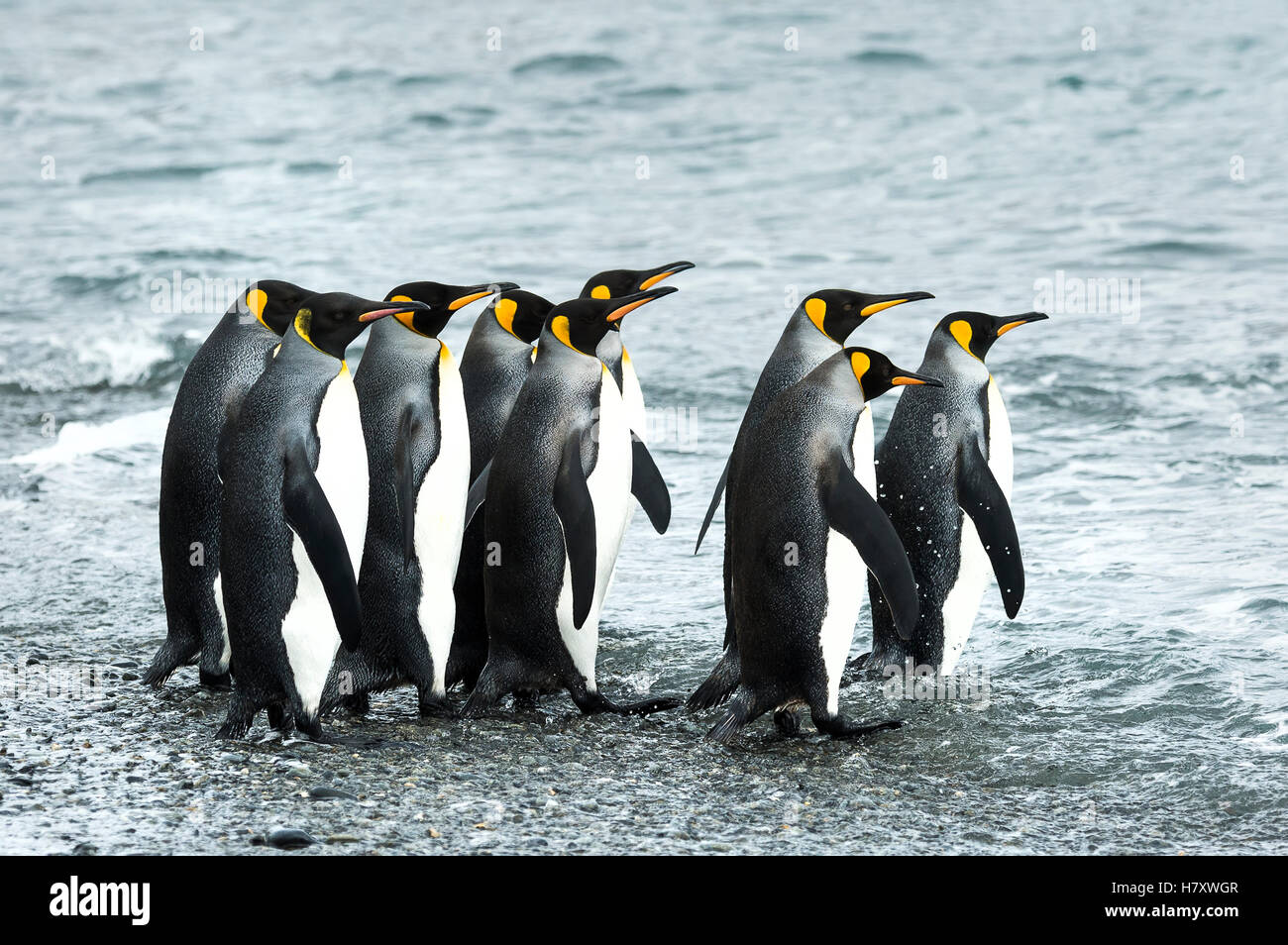 King penguins (Aptenodytes patagonicus)in Fortuna Bay; South Georgia, South Georgia and the South Sandwich Islands, Stock Photo