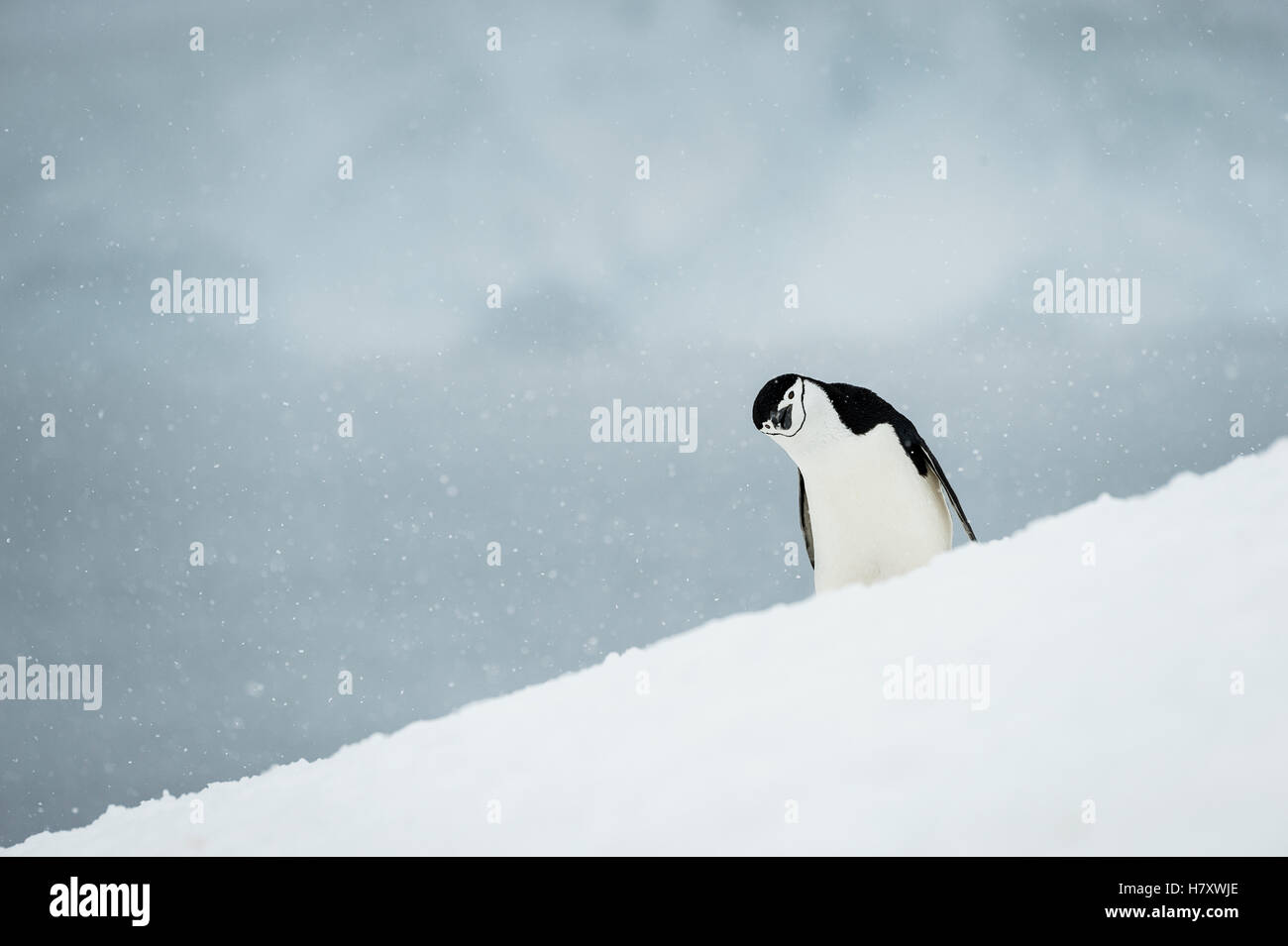 Chinstrap Penguin (Pygoscelis antarctica) with it's head cocked to the side; Half Moon Island, South Shetland - Stock Image