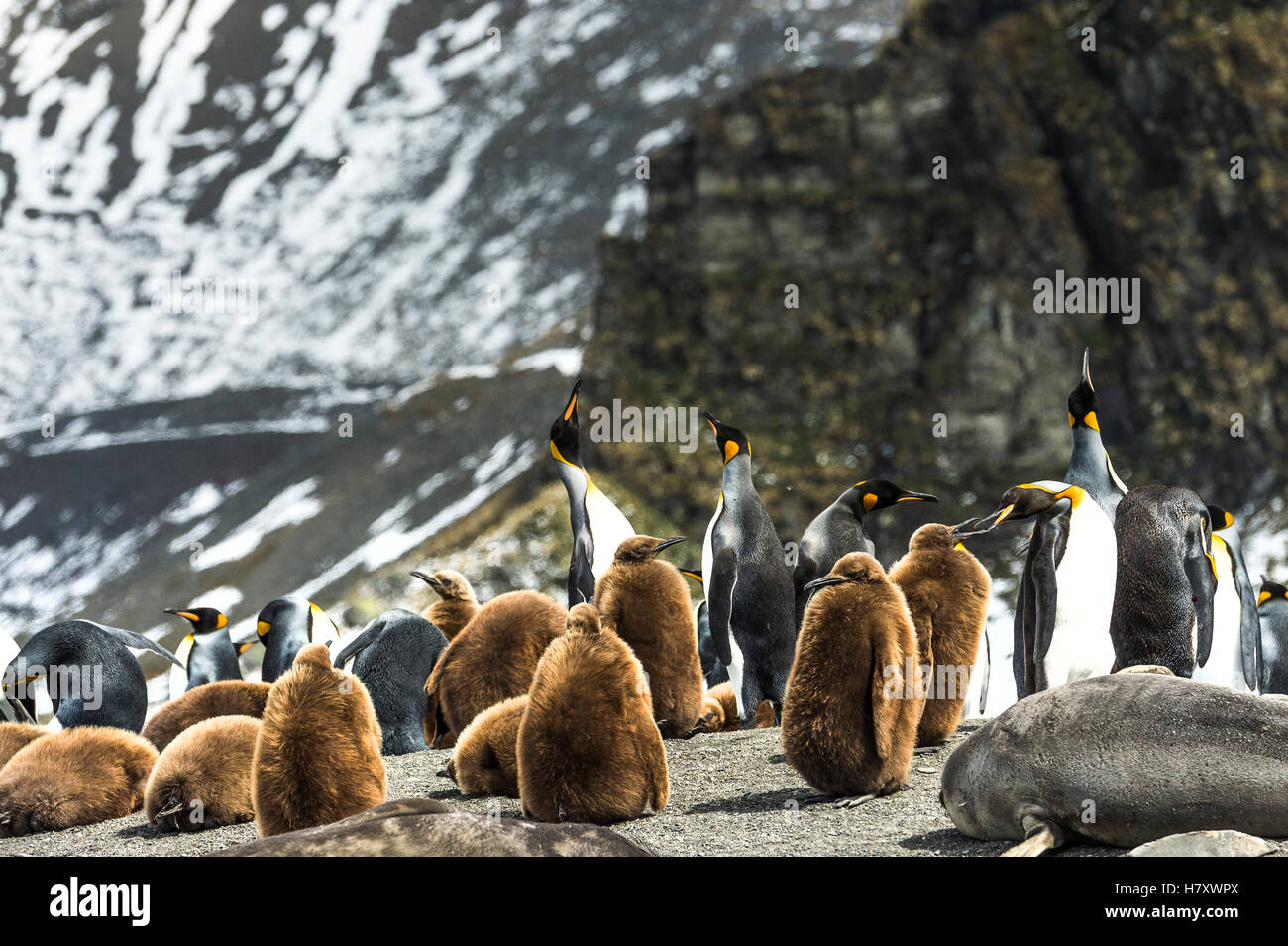 King penguins (Aptenodytes patagonicus) and juveniles with an Antarctic Fur Seal (Arctocephalus gazella) on the - Stock Image