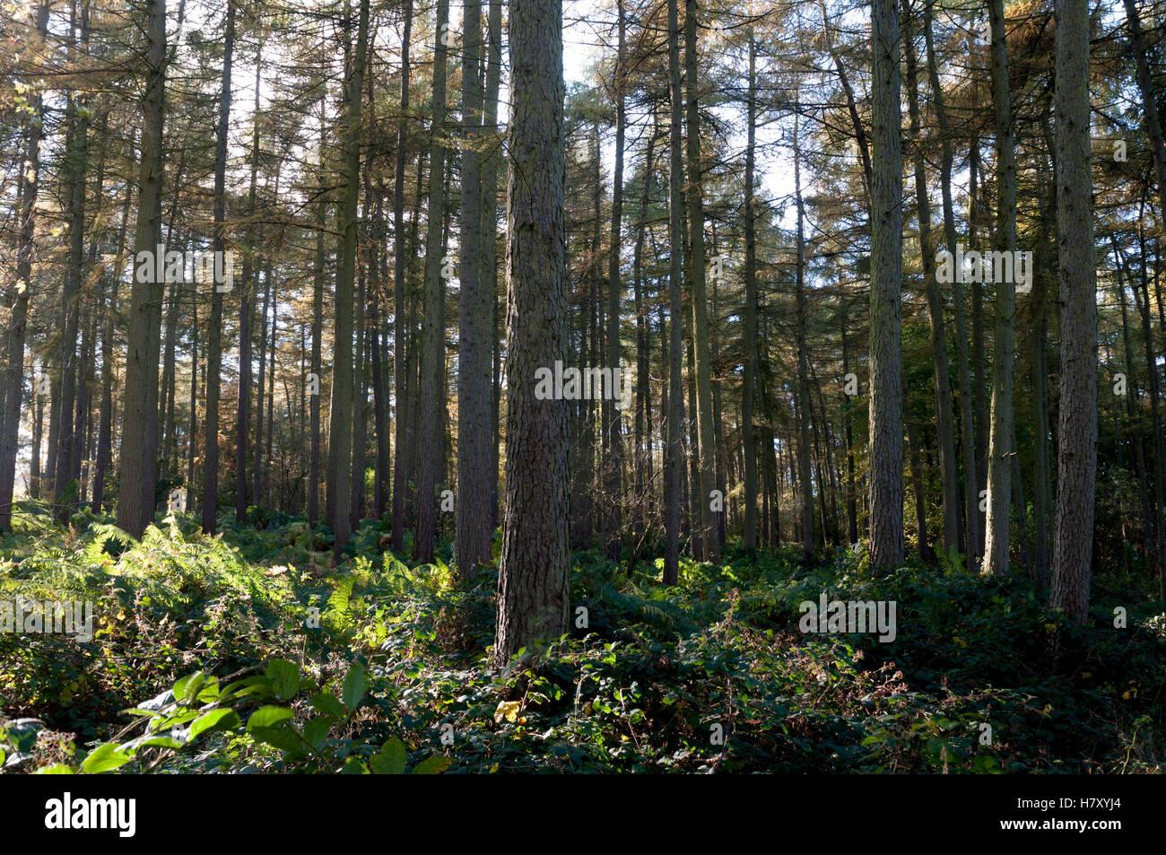 Coniferous trees on Dumbleton Hill, Gloucestershire, England, UK - Stock Image