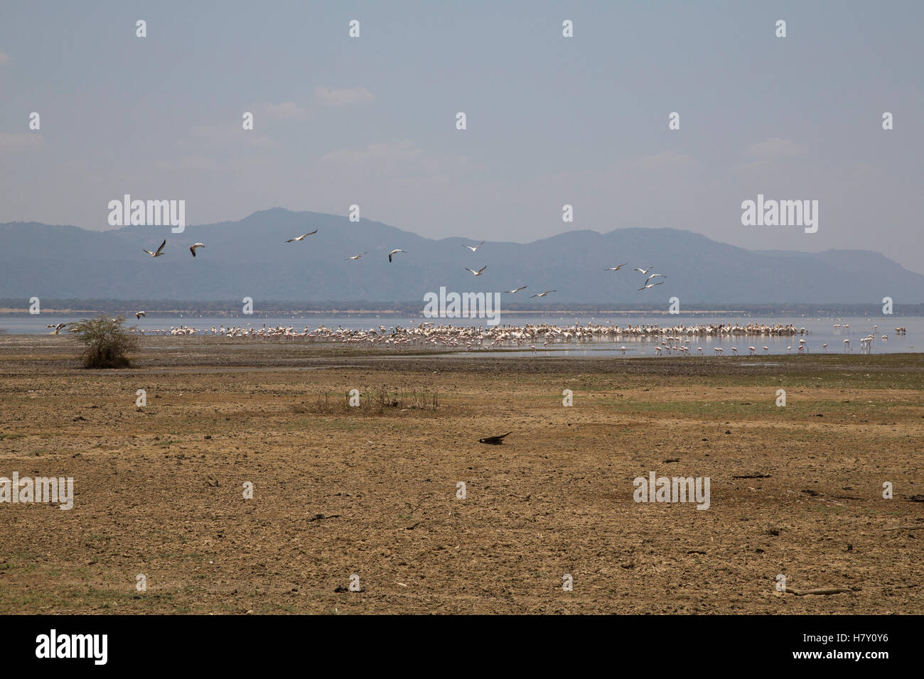 Great white pelicans, Greater and Lesser Flamingo at Lake Manyara, Tanzania - Stock Image