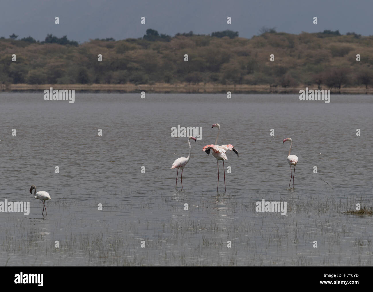 Greater and Lesser Flamingo at Lake Manyara, Tanzania - Stock Image