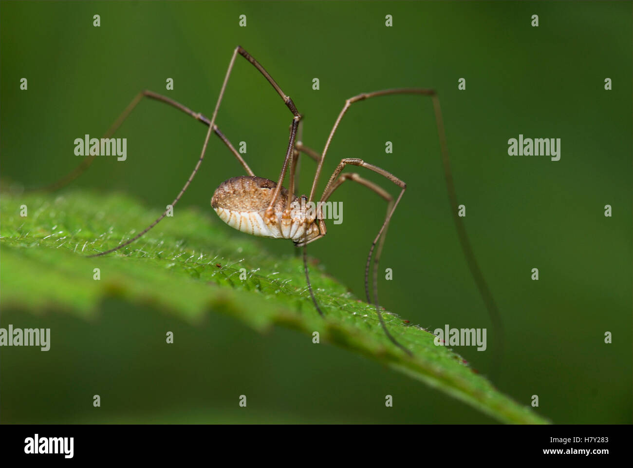 Harvestman Phalangium opilio on leaf in garden closely - Stock Image