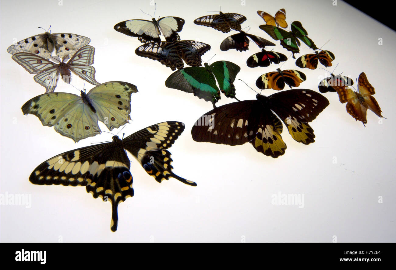 Various set pinned specimen butterflies laid out on - Stock Image
