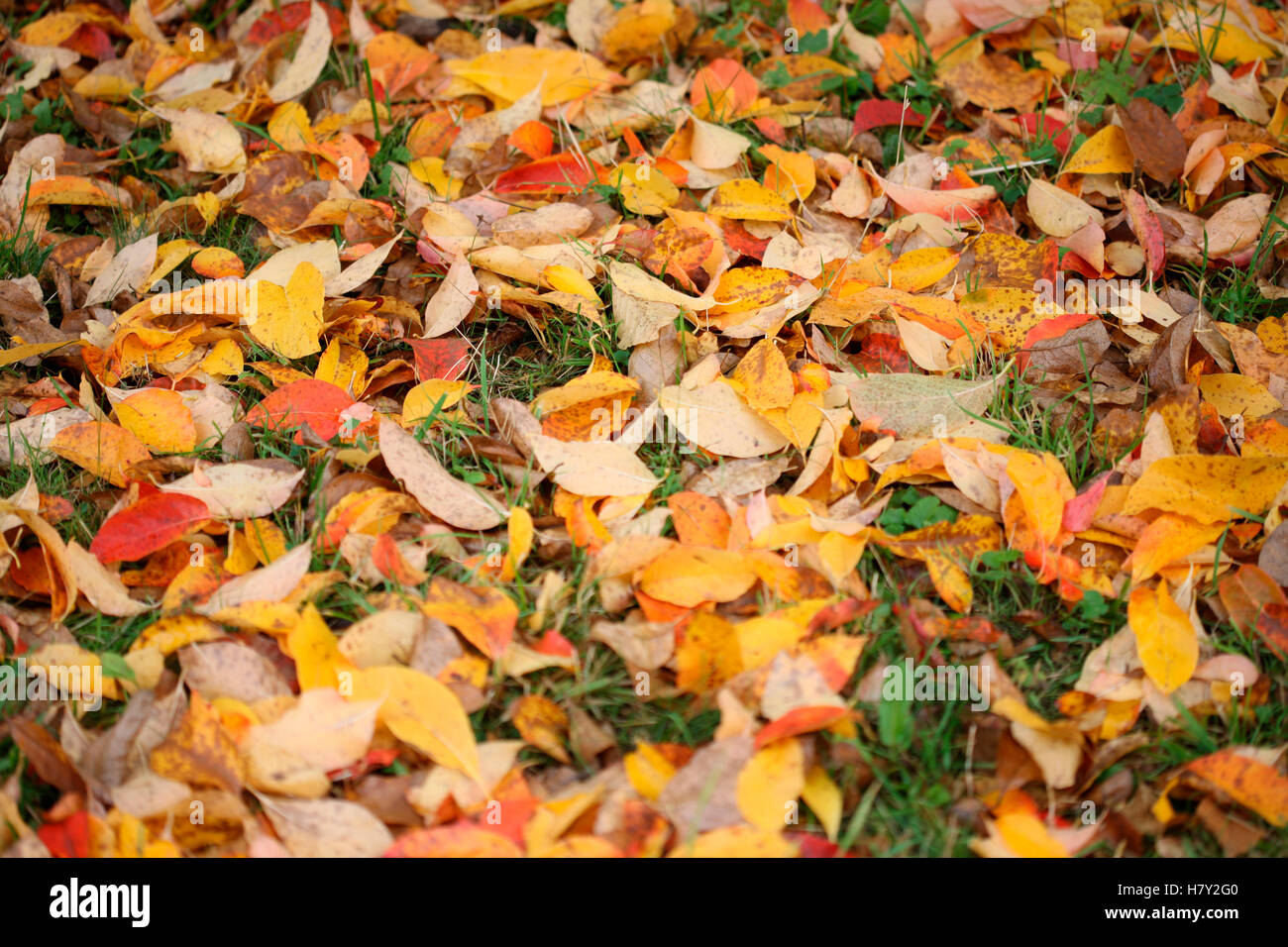 fallen autumn leaves decaying on the ground - regenerate Jane Ann Butler Photography JABP1689 - Stock Image