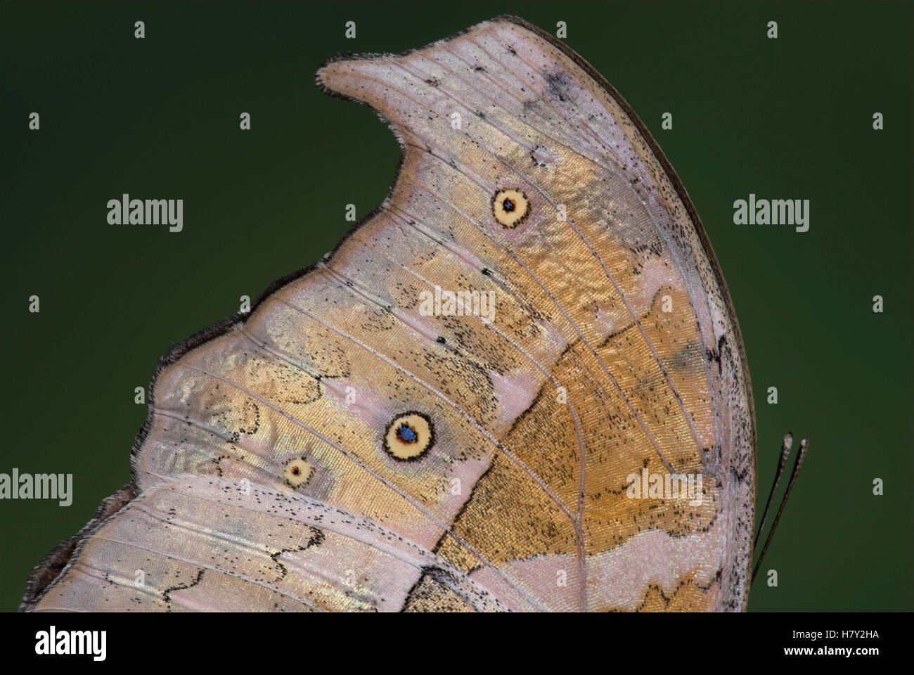 Close up of wing shape Mother of Pearl Stock Photo