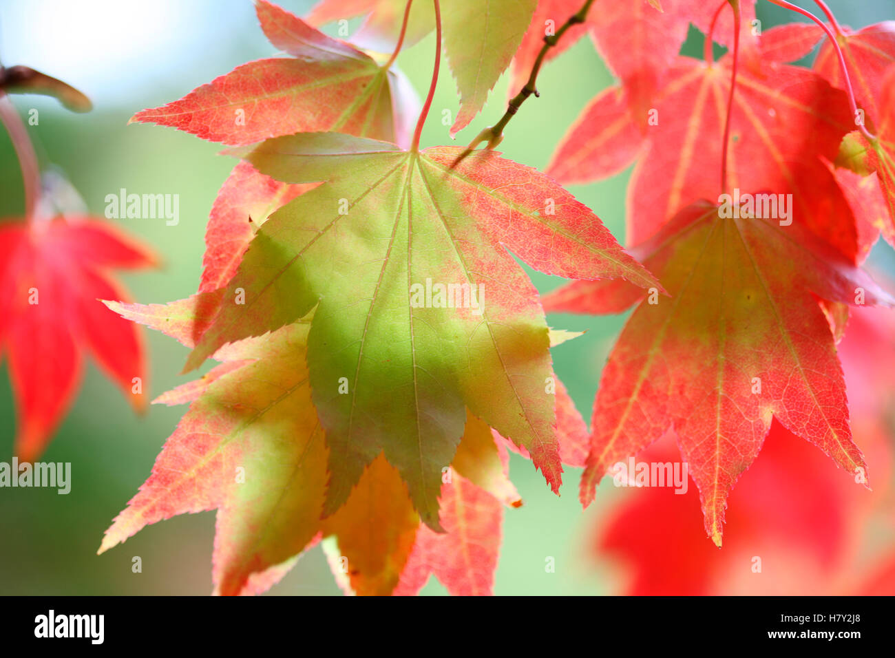acer palmatum amoenum, sunlight looking through japanese maple autumn leaves Jane Ann Butler Photography JABP1682 Stock Photo